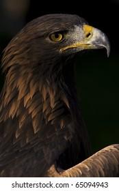 Photo of a European Golden Eagle (Aquila chrysaetos), a bird of prey.