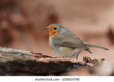 Photo of European robin (Erithacus rubecula) sits on the trunk. Detailed and bright portrait. Autumn landscape with a song bird. Erithacus rubecula