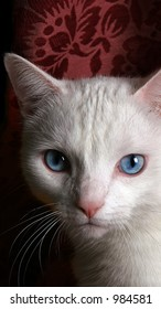 Photo of face of white cat with blue eyes against brocade background.
