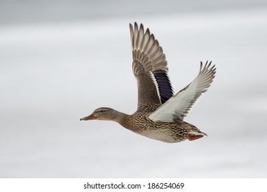 photo of female duck in flight