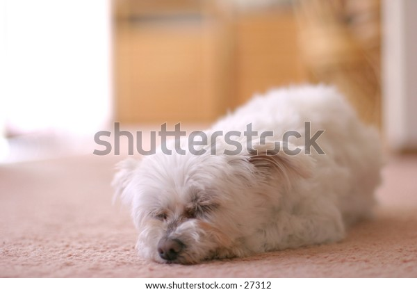 Photo of female Maltese Terrier. Her name is Bessie.