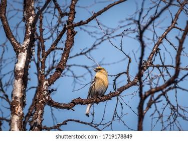 Photo of a female Pine Grosbeak sitting in a birch tree