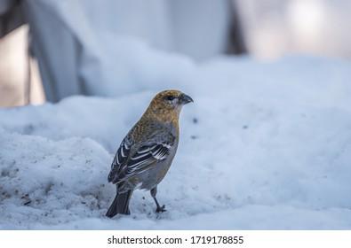Photo of a female Pine Grosbeak sitting on the snow