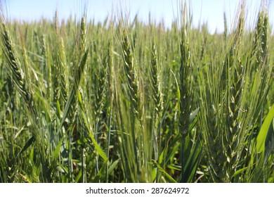 Photo Field unripe green ears of rye on the sky background