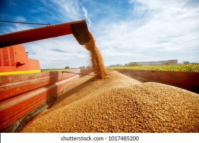 Photo of a filling a big red trailer with wheat corns out of combine harvester in a sunflower field on a beautiful day.