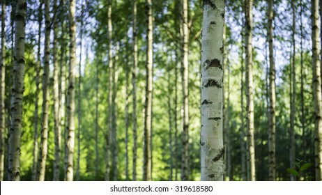 Photo of a Finnish birch forest.