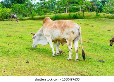 photo of a five leg cow in philippines