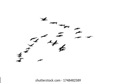 photo of a flock of black double-crested cormorant (Phalacrocorax auritus) sea birds against a bright sky suitable for compositing
