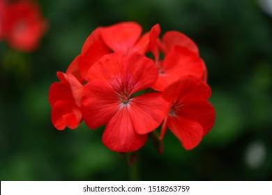 A photo of a flower named Geranium