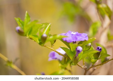 "photo of flowers of Brunfelsia pauciflora ""Floribunda"" plant close-up in the garden"