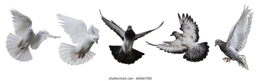 photo of flying doves isolated on white background in thailand