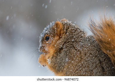 Photo of a fox squirrel covered with snow