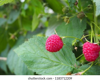 Photo of fresh healthy raspberry on a home garden bush