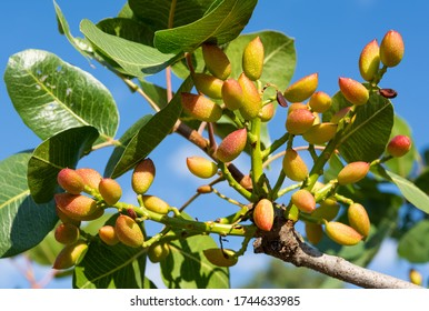 photo of fresh pistachios on a tree