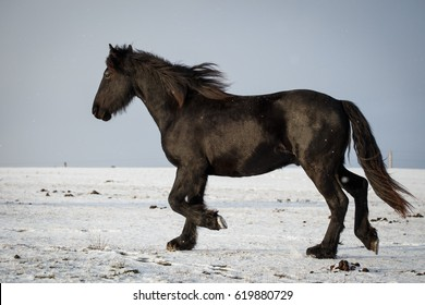 Photo of Friesian horse in winter on pasture.