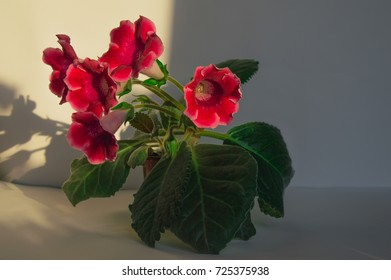 photo in full growth red, pink flower gloxinia, campanula, Sinningia with large sheets in the pot. kind: Gesneriaceae, perennis, pusilla.  background is studio.  Shadow, lighting and chiaroscuro