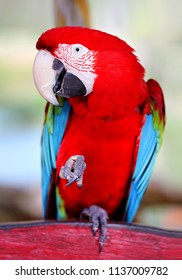 Photo of a funny big close-up red parrot in the jungle