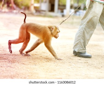Photo of a funny monkey on a leash in the jungle