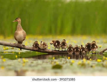 Photo of Gadwall duck family , Anas strepera. Female with group of chicks in row in lovely pose standing on old trunk in water,  against  yellow water flowers and green reeds in background.
