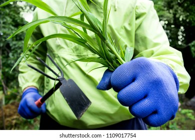 Photo of a gardener in green jacket with blue gloves fighting with weed using metal garden hoe.