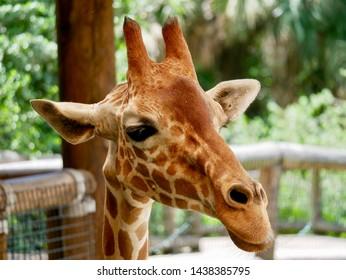 Photo of giraffe in captivity.