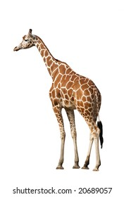 Photo of a giraffe, isolated over white