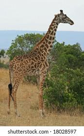 a photo of a Giraffe in kenya's national park