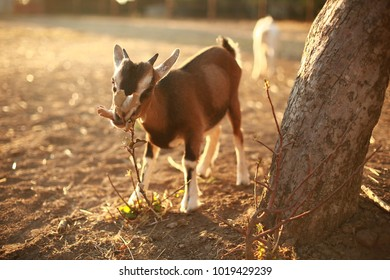 photo of a goat on a farm. Outgoing goat at sunset, Golden autumn, summer, warm, postcard, shop, factory, restaurant, retro photography, animal husbandry