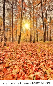 photo with gold maple leaves in autumn forest