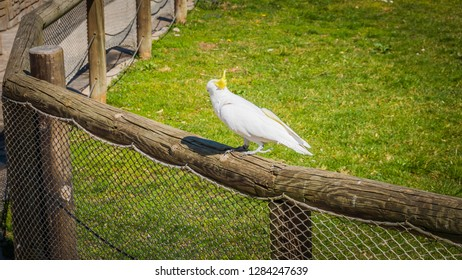 A photo of a gorgeous white cockatoo standing. The white cockatoo is also known as Cacatua Alba or umbrella cockatoo. It is an exotic bird endemic to the tropical rainforest on islands of Indonesia