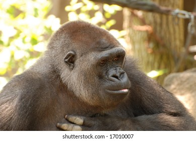 Photo of gorilla