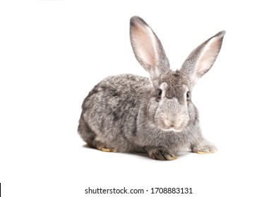 photo gray rabbit on a white background