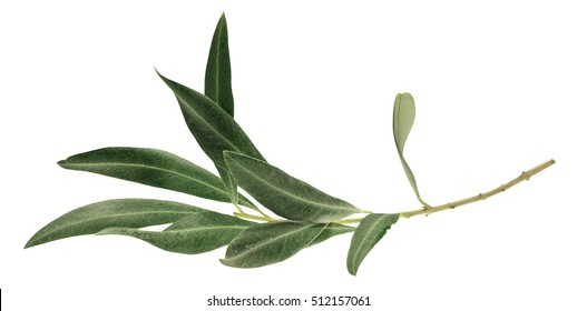 A photo of a green olive branch, isolated on white - Shutterstock ID 512157061
