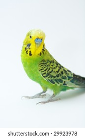 Photo of green parrot on the white background