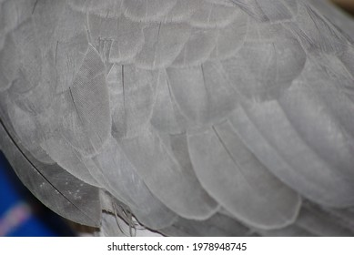 Photo of the grey parrot jaco