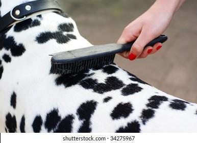 Photo of hand brushing a dalmatian dog.