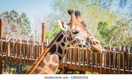 A photo of the head of a very funny looking and large giraffe, also known as Giraffa, walking on a lovely day in Spring.  The giraffe is the tallest living terrestrial animals and largest ruminants.