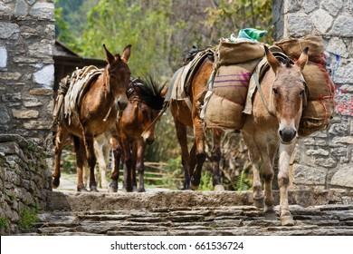 Photo of himalayan horse caravan transporting goods