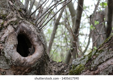 A photo of a hollow in an apple tree, a photo of an old apple tree with a hollow in a trunk