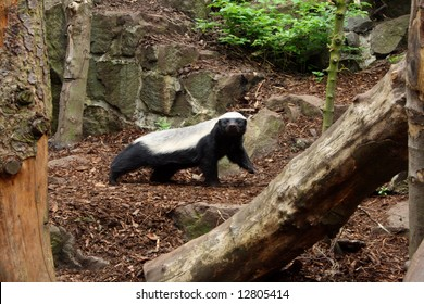 Photo of a Honey Badger (Ratel)