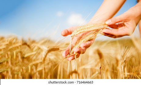 Photo of human's hand with wheat spikes