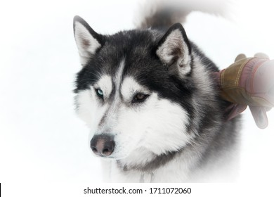 photo of a husky dog (wolf) with different colors of eyes and black color on a white (snowy) background in winter