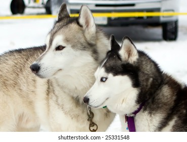 Photo of Husky dogs near dog sled race in Toronto Area