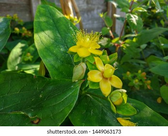 A photo of Hypericum, or St. John's Wort with yellow flowers and maturing berries