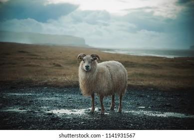 Photo of an Icelandic sheep