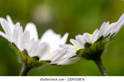 Photo of Irish Daisy (Bellis perennis)Flower of the Asteraceae family, often considered the archetypal species of that name. Photo taken in Co Louth