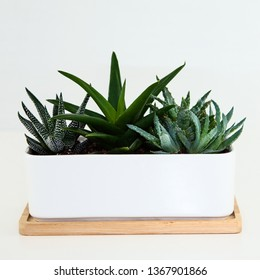 A photo isolated on a white background of a white, shallow rectangular plant pot on a light timber base, containing several spikey succulent plants.