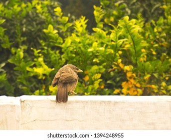 Photo of Jungle Babbler bird jumping around on the wall with trees in background.