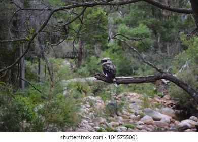 Photo of a kookaburra sitting on the branch of a dead tree in the Australian bush