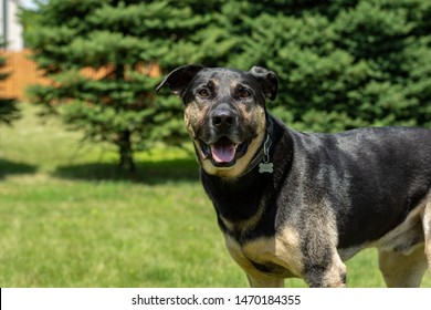 Photo of Labrador Retriever/German Shepard dog looking at you on a sunny, summer day.